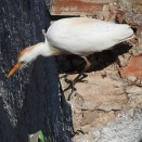 Cattle Egret on the wall