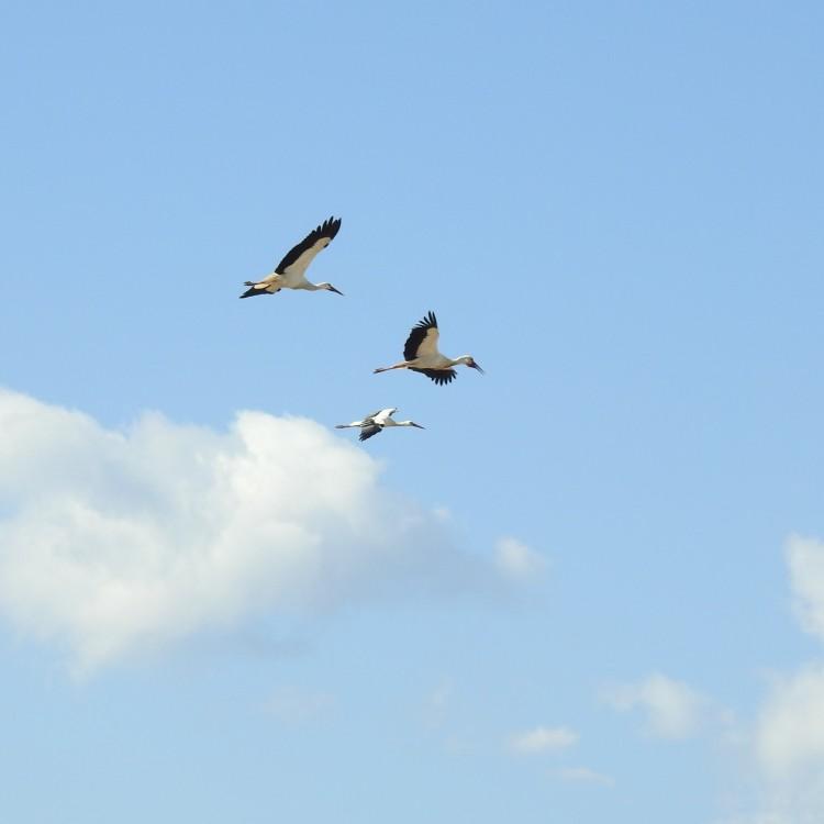 Storks in flight