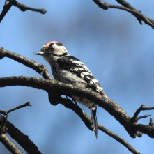 Woodpecker in Portugal