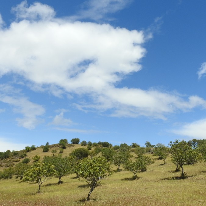 Olive trees under blue skies