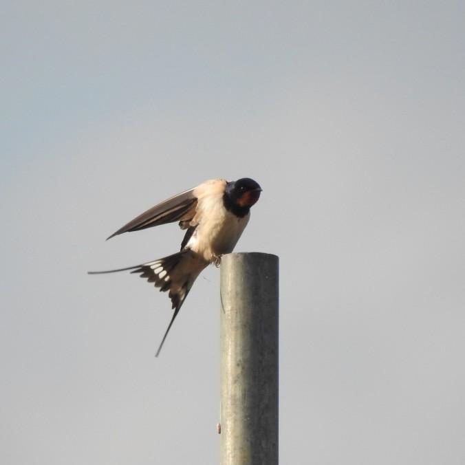 Somerset Swallow