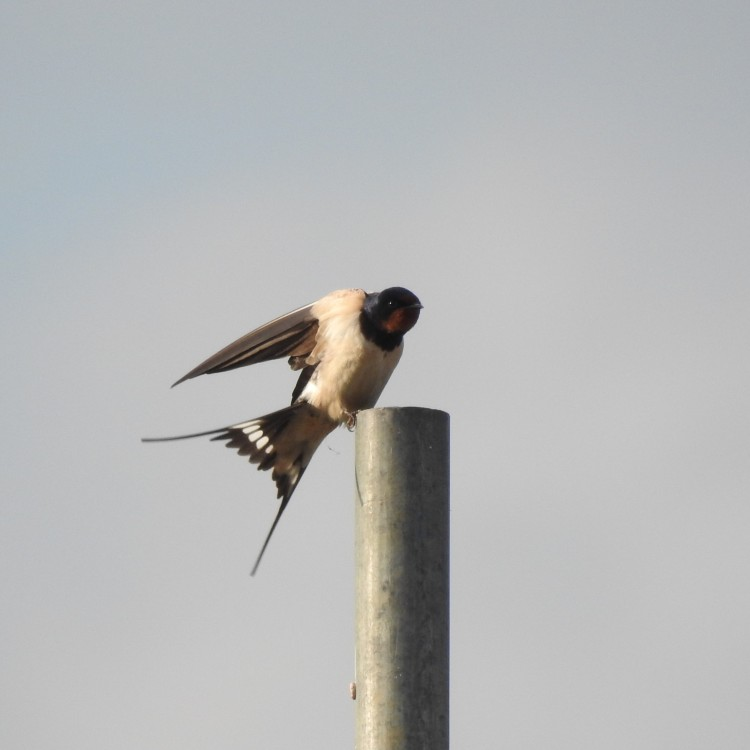 Somerset Swallow