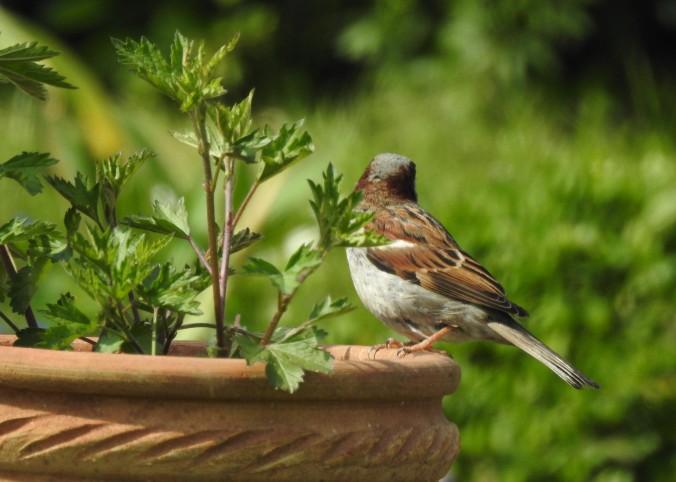 Somerset Sparrow