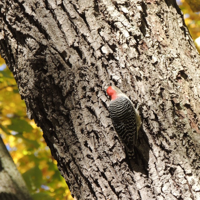 Woodpecker in Pittsburgh