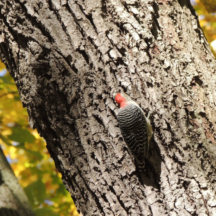 Woodpecker in Pittsburgh