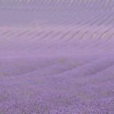 Kent Lavender