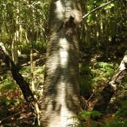 Silver Birch Bark in Wales