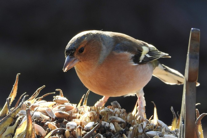 Chaffinch on a Sunflower