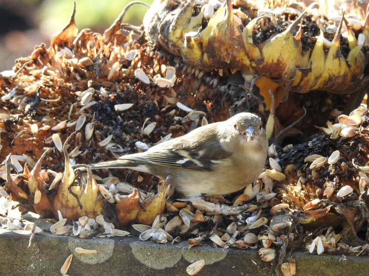 Chaffinch on Sunflower