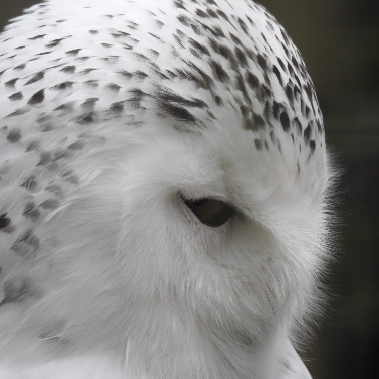 Snowy Owl at Hawk Conservancy Trust, Hampshire