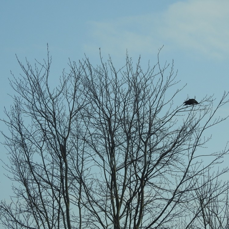 Crow with Sparrowhawk