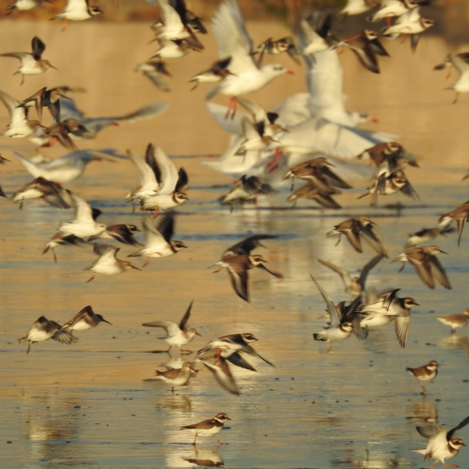 Wader Flight at Twilight