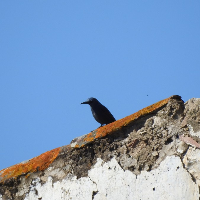 Blue Thrush in Top of Roof