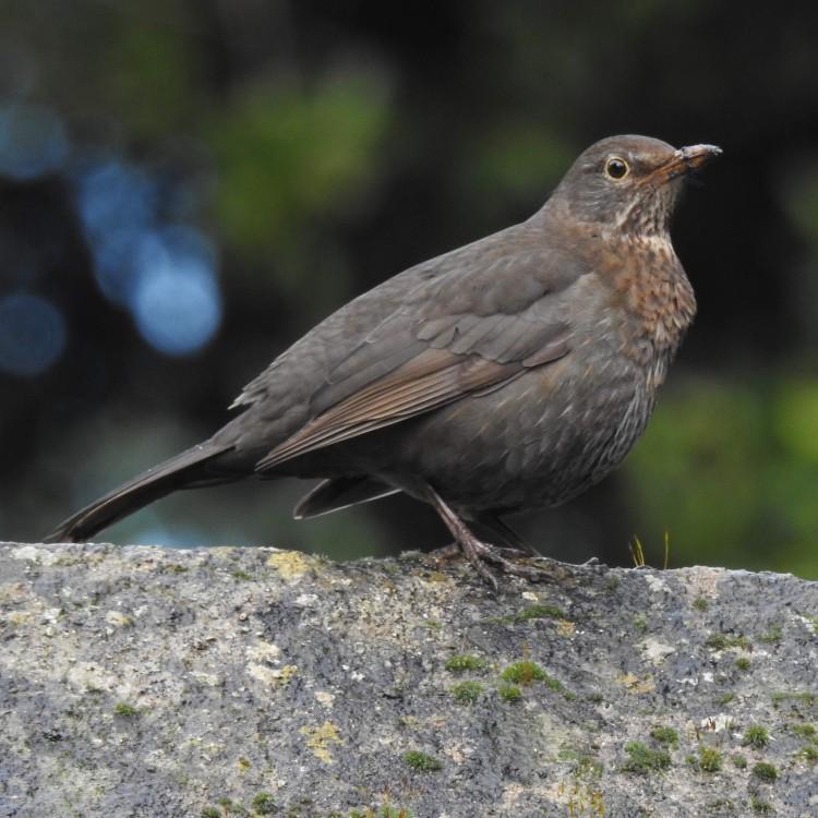 Square blackbird