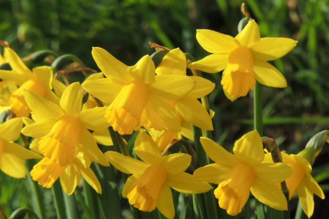 Daffodils in Guildford