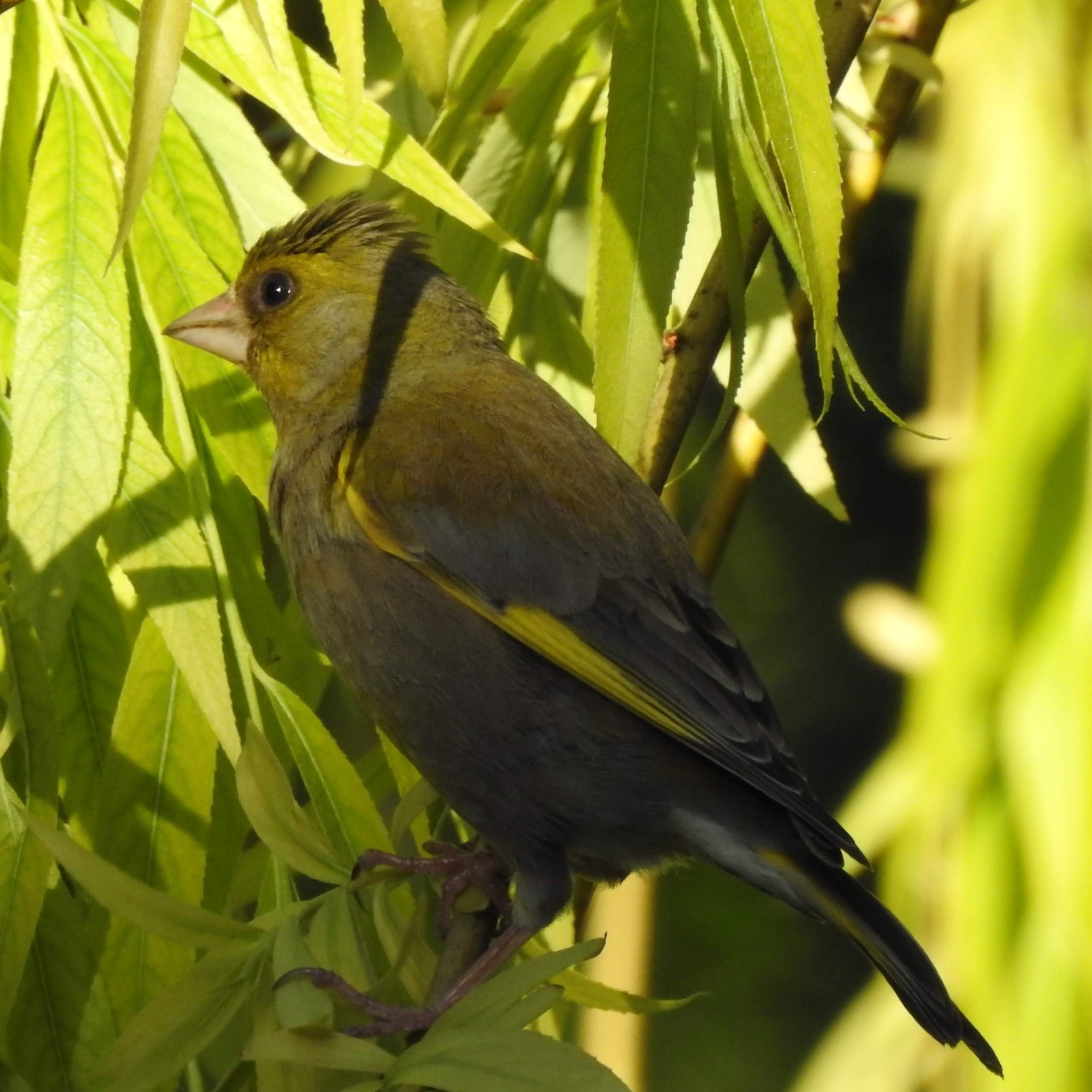 Greenfinch male